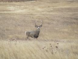 A beautiful 4x4 mule deer! This is not an old buck, so he may get heavier with longer points, but he's unlikely to get wider. The reality is this is a good mule deer in most mule deer country today.